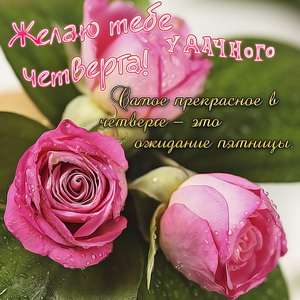 Красивые розы для удачного четверга