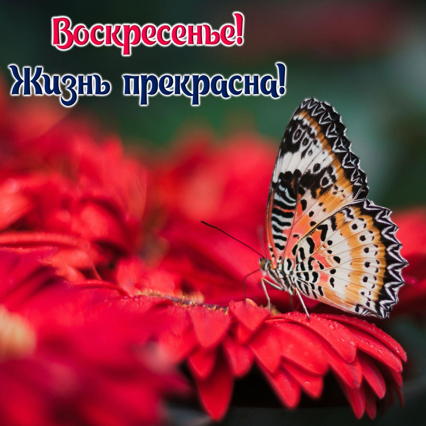 Картинка с бабочкой на красном цветке на воскресенье