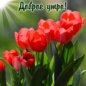 Картинка с красными тюльпанами