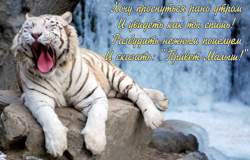 Открытка с добрым утром - зевающий тигр на фоне водопада
