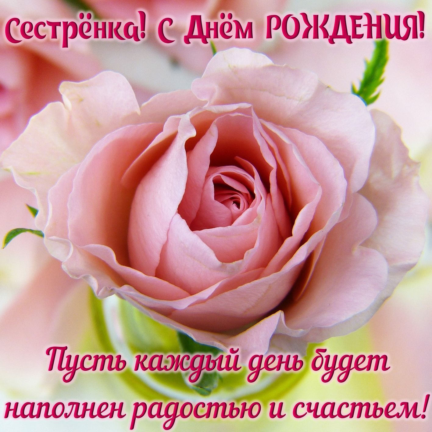 Картинка с огромной нежной розой для сестры