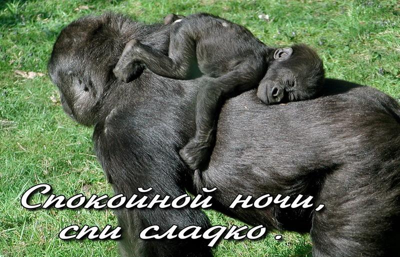 открытка - маленькая обезьянка сладко спит на спине у мамы