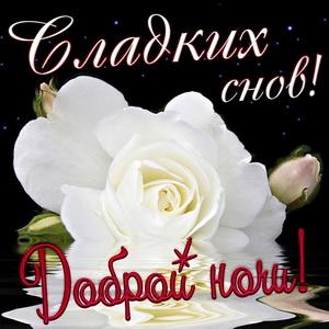 Открытка с белой розой и пожеланием сладких снов