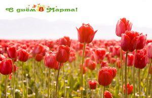 С днем 8 марта, тюльпаны, поле