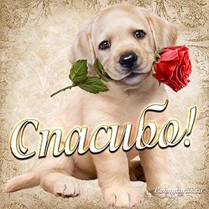 Картинка спасибо с собачкой и розой