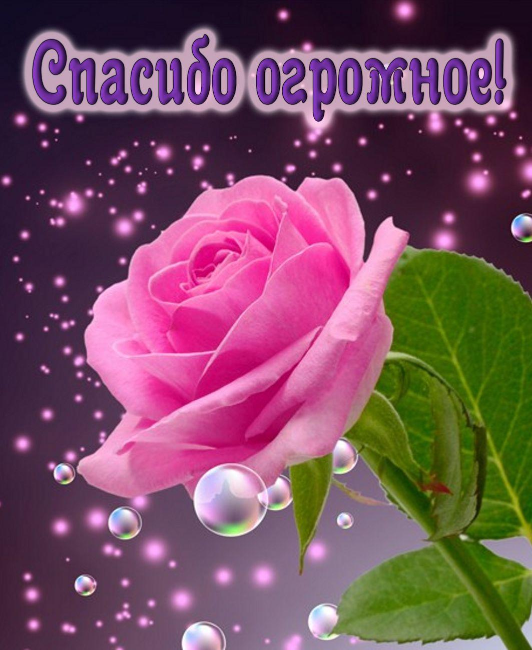 Открытка - огромная роза в знак признательности