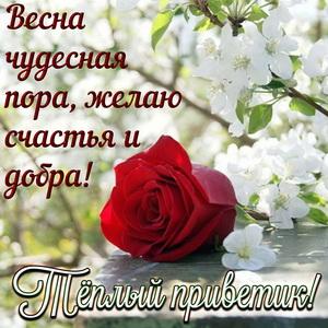 Открытка с розой и тёплым весенним приветом