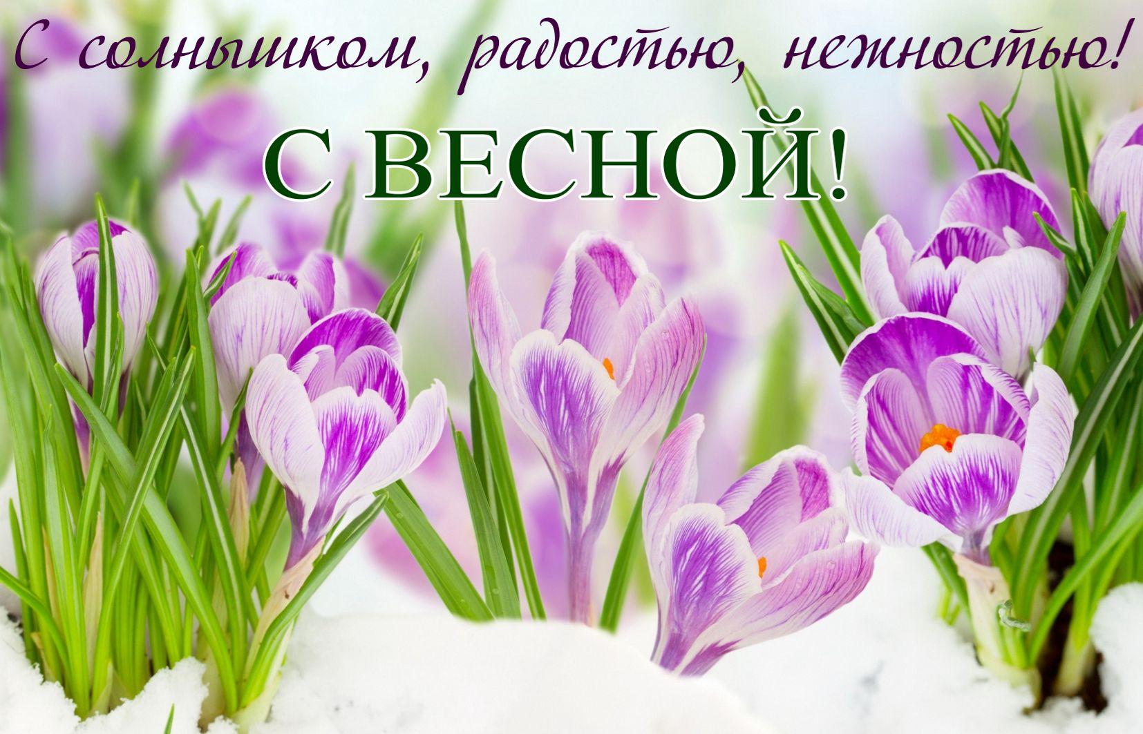 Фиолетовые цветы на снегу на День весны