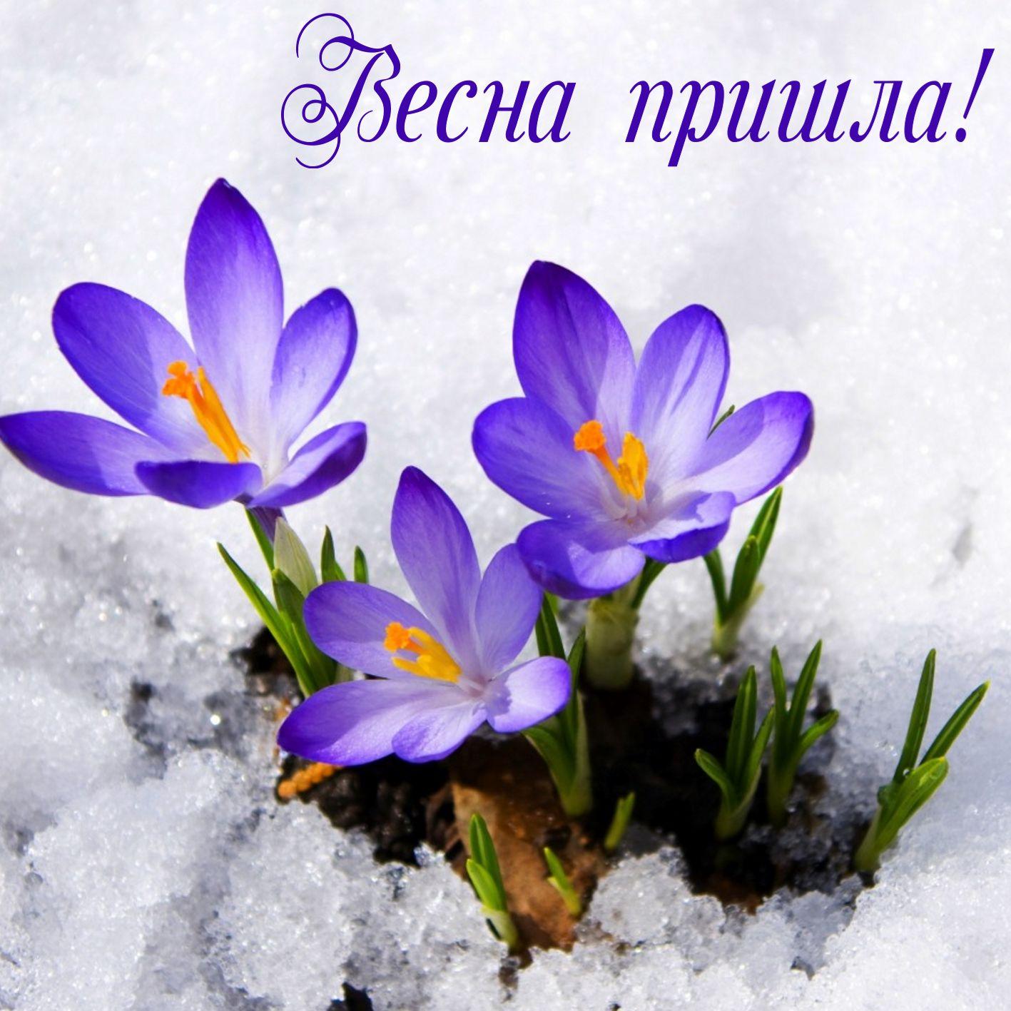 Открытка с первым днем весны - цветы пробивающиеся из под снега