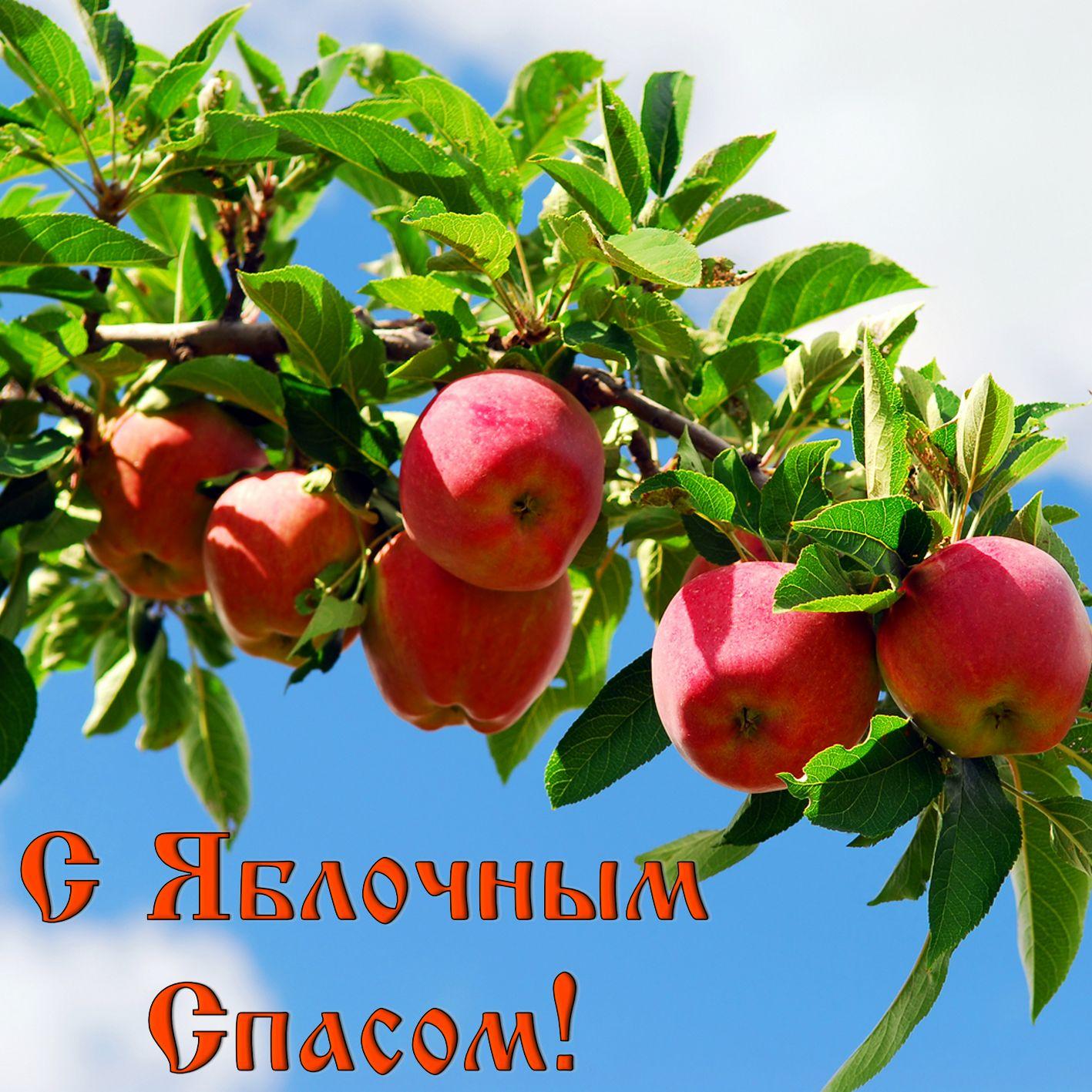 Открытка на Яблочный Спас - ветка с яблоками на фоне неба