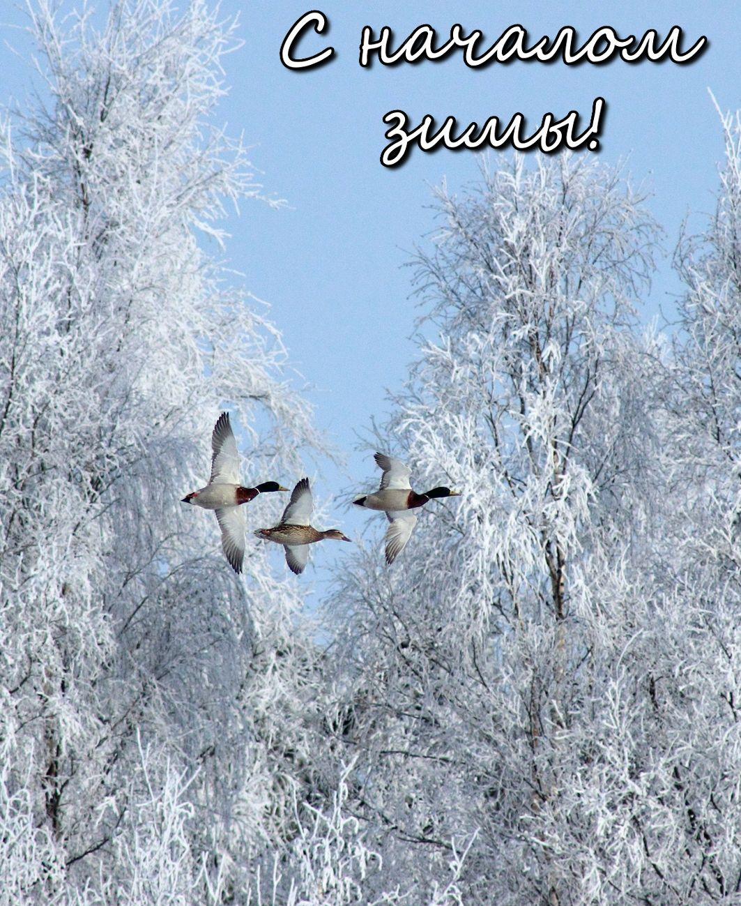 Открытка с утками на фоне заснеженных деревьев